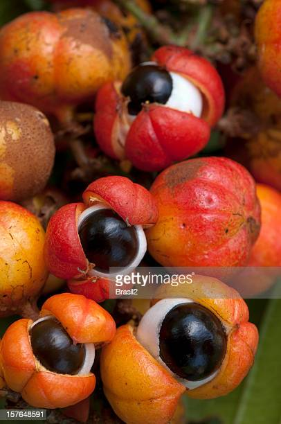 Close-up of orange-red colorful Guarana fruit