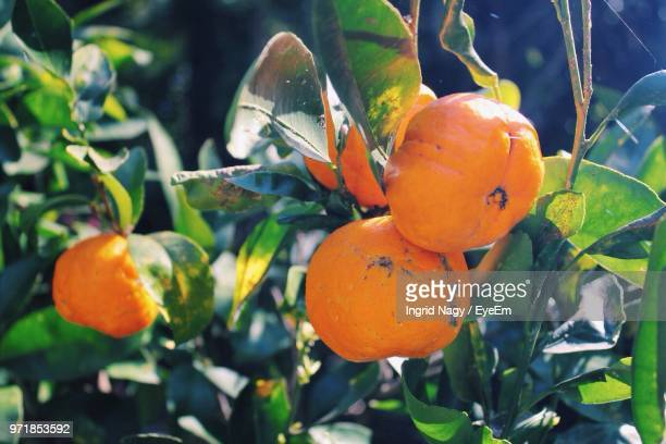 Close-Up Of Oranges Growing On Tree