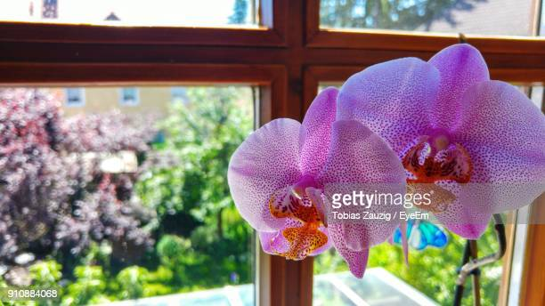 close-up of orchid blooming in window - erlangen stock photos and pictures