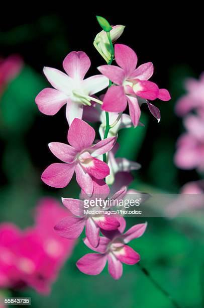 Close-up of Orchid flowers, Garden of the Sleeping Giant, Viti Levu Island, Nadi, Fiji