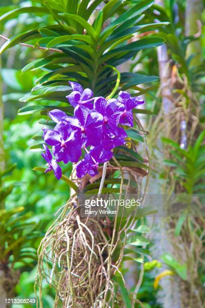 close-up of orchid growing on tree - epiphyte stock pictures, royalty-free photos & images
