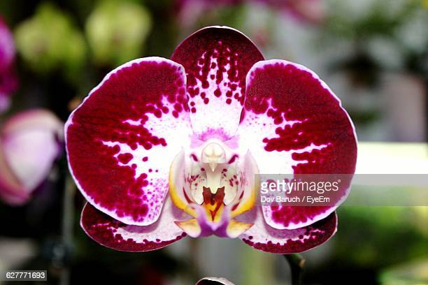 close-up of orchid growing outdoors - barulho stock pictures, royalty-free photos & images