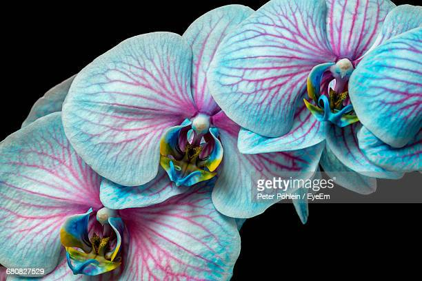Close-Up Of Orchids Against Black Background