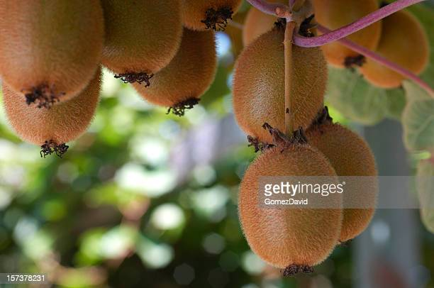 Close-up of Organic Kiwi Fruit on Vines