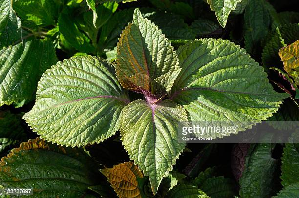 close-up of organic perilla plants growing on farm - shiso stock pictures, royalty-free photos & images