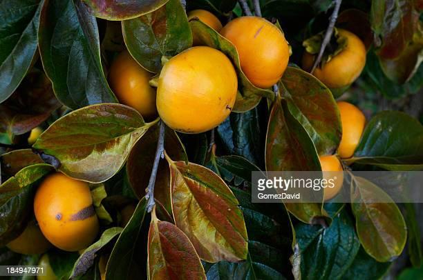 Nahaufnahme von Bio-Kaki Obst auf Tree Branch