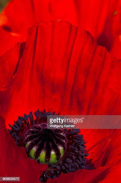 Closeup of Oriental poppies in a garden in Bellevue Washington State USA