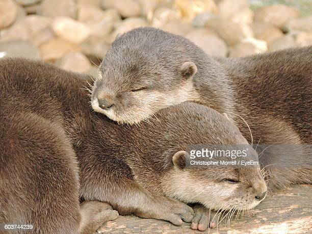 Close-Up Of Oriental Short-Clawed Otters Sleeping At Zoo