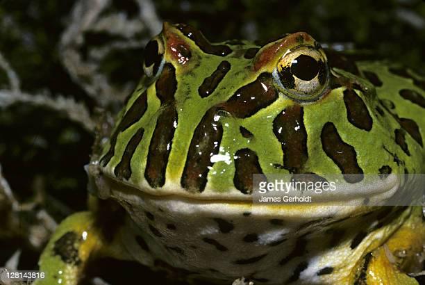 closeup of ornate horned frog, ceratophrys ornata, south america - asiatische wildkatze stock-fotos und bilder