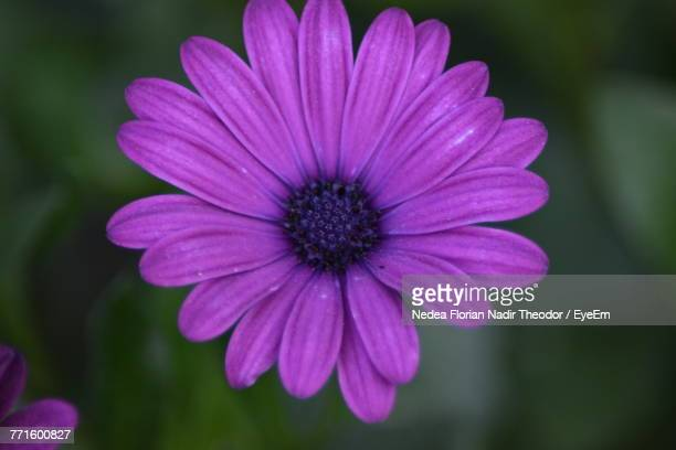 close-up of osteospermum blooming outdoors - flower part stock pictures, royalty-free photos & images