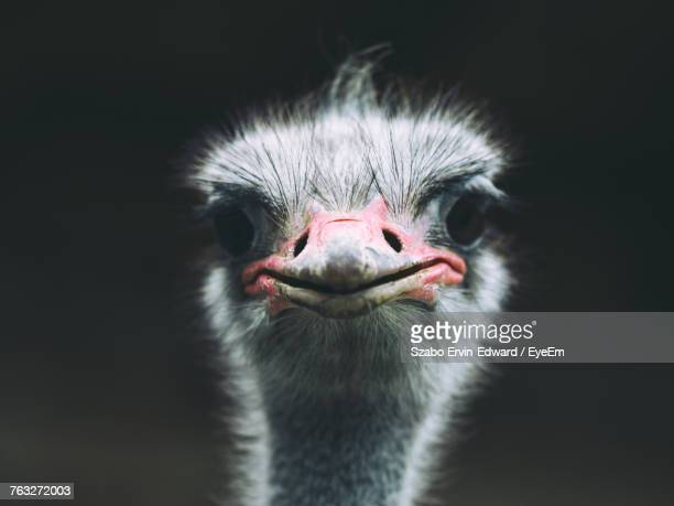 close-up of ostrich against black background - ostrich stock pictures, royalty-free photos & images