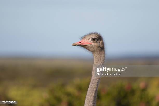 close-up of ostrich against sky - ostrich stock pictures, royalty-free photos & images