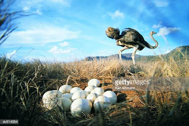 close-up of ostrich eggs with ostrich in background (struthio camelus) - avestruz fotografías e imágenes de stock