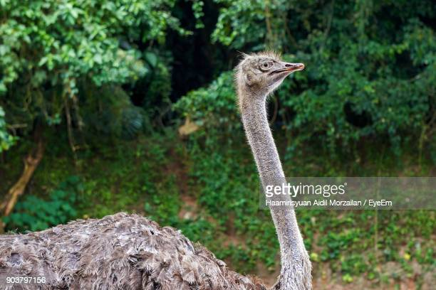 Close-Up Of Ostrich In Forest