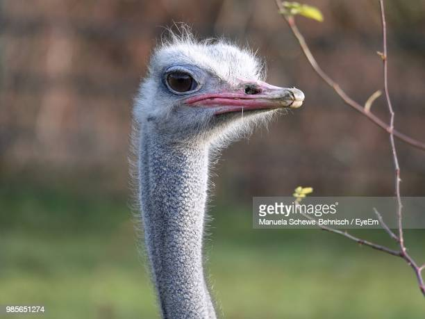 close-up of ostrich - ostrich stock pictures, royalty-free photos & images