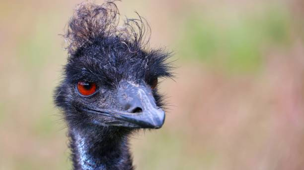 Close-up of ostrich,Ramsey,Isle of Man