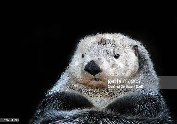 close-up of otter against black background - otter stock photos and pictures