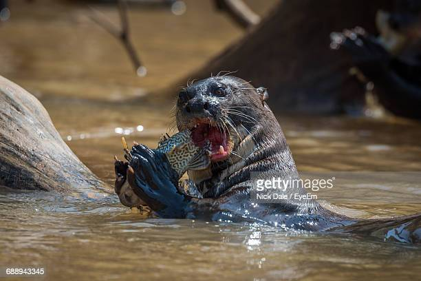 Close-Up Of Otter Eating Fish In Water