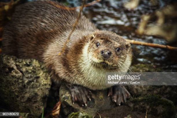 close-up of otter - otter stock photos and pictures