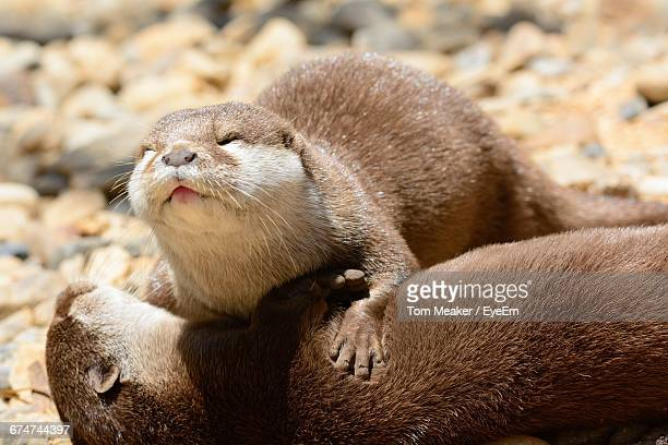 close-up of otters - otter stock photos and pictures