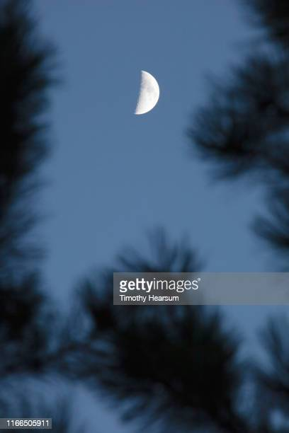 close-up of out of focus joshua tree branches with dark sky and half moon above - timothy hearsum stock photos and pictures