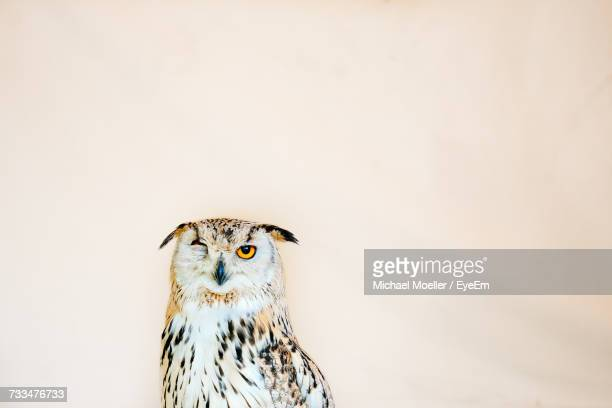 Close-Up Of Owl Against Wall