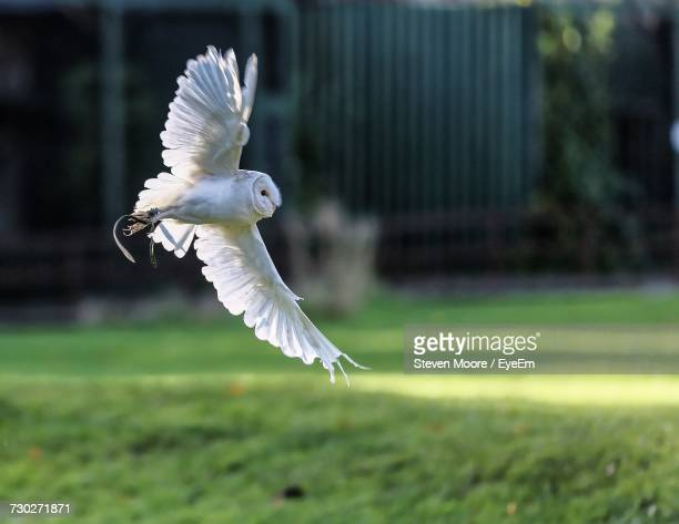 close-up of owl flying over grass - chouette blanche photos et images de collection