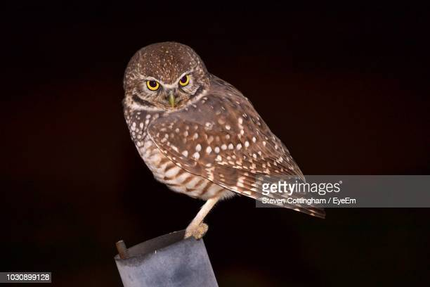 close-up of owl perching against black background - steven cottingham stock-fotos und bilder