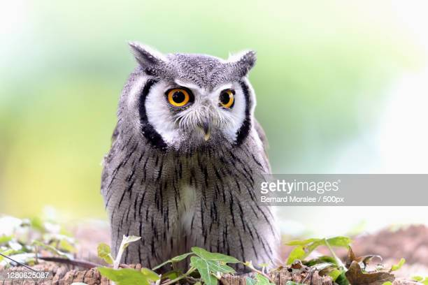 close-up of owl perching on branch - eurasian eagle owl stock pictures, royalty-free photos & images