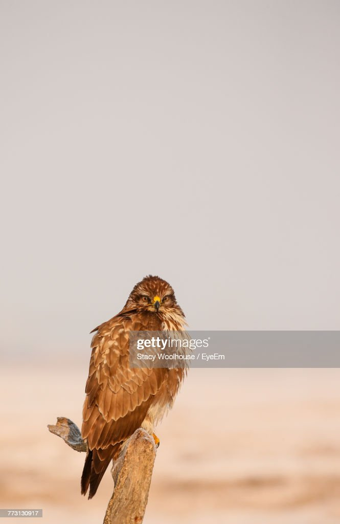 Close-Up Of Owl Perching On Dead Plant Against Clear Sky : Photo