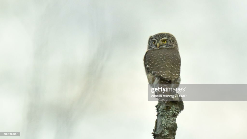 Close-up of owl perching on tree : Stock Photo