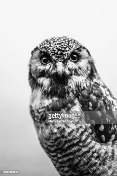 close-up of owl - marty hardin stock photos and pictures