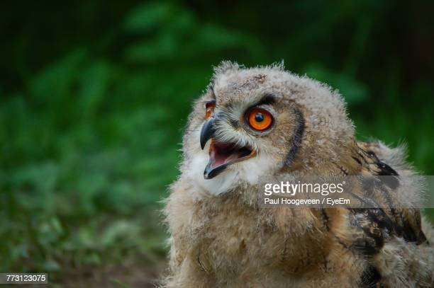 close-up of owl - hoogeveen stock pictures, royalty-free photos & images