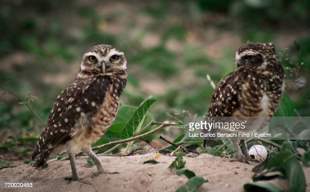 close-up of owls - filho stock pictures, royalty-free photos & images