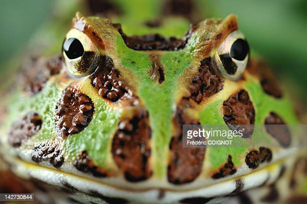 close-up of pacman frog - horned frog stock photos and pictures