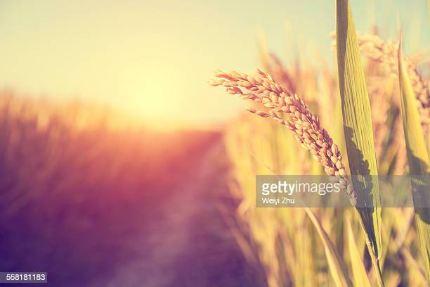 close-up of paddy rice - rice cereal plant stock pictures, royalty-free photos & images