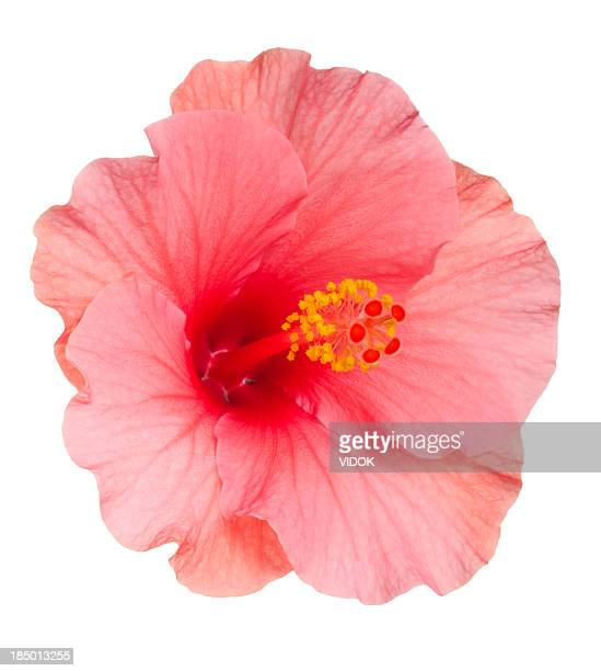 Tropical flower stock photos and pictures getty images close up of pale pink hibiscus flower on white background mightylinksfo