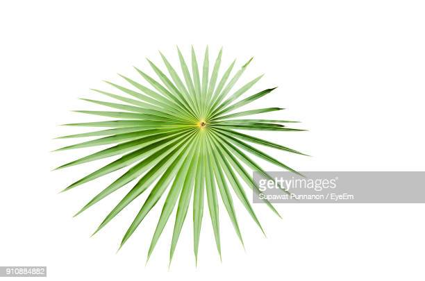 Close-Up Of Palm Leaf Against White Background