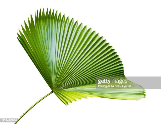close-up of palm leaf against white background - clima tropicale foto e immagini stock