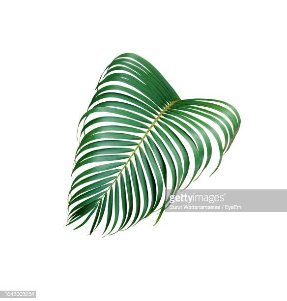 Close-Up Of Palm Leaf Over White Background