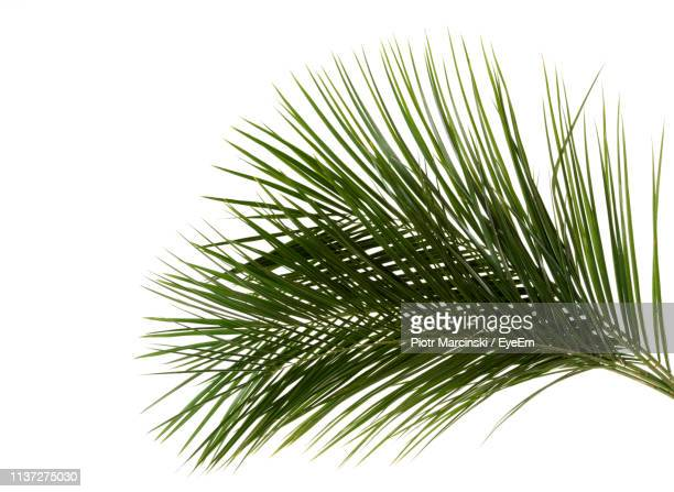 close-up of palm leaves against white background - palm leaf stock pictures, royalty-free photos & images