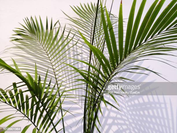 close-up of palm leaves - palm leaf stock pictures, royalty-free photos & images