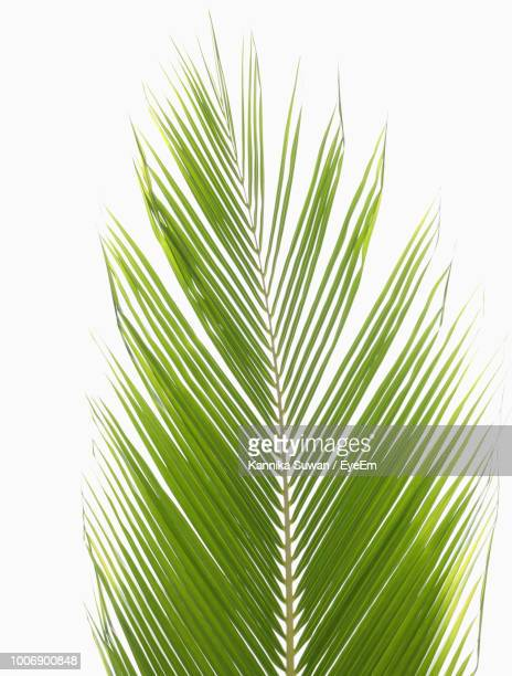 Close-Up Of Palm Tree Leaves Against White Background