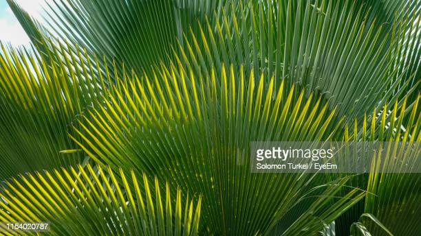 close-up of palm tree leaves - solomon turkel stock pictures, royalty-free photos & images