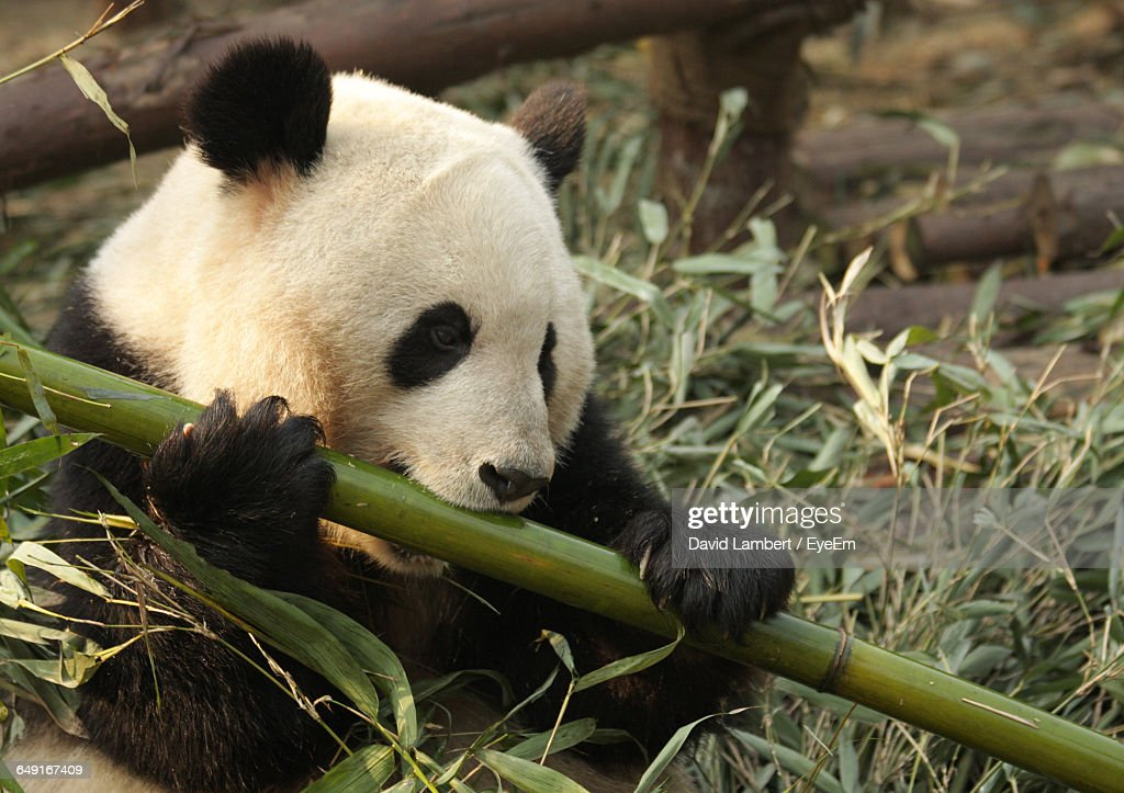 Close-Up Of Panda Eating Bamboo In Zoo