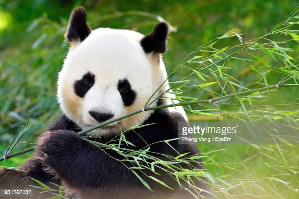 Close-Up Of Panda Holding Branch