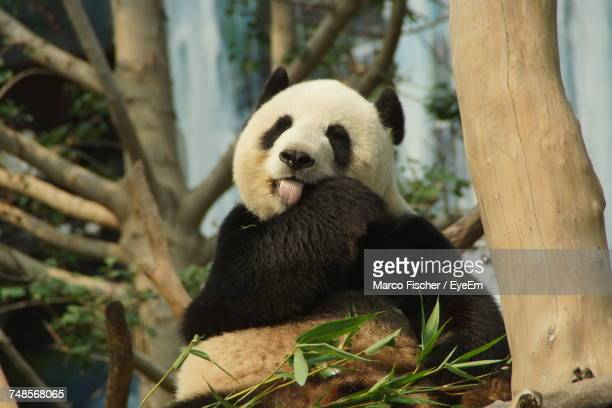 close-up of panda on tree - giant panda stock photos and pictures