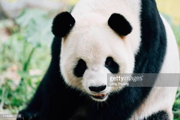 closeup of panda - パンダ ストックフォトと画像