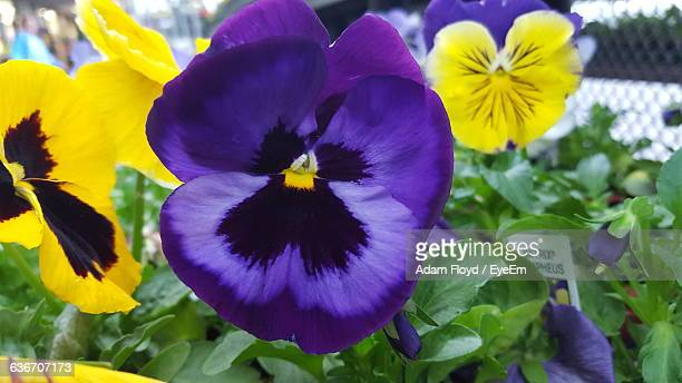Close-Up Of Pansies Blooming In Lawn