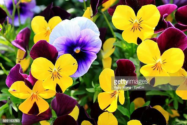 close-up of pansies blooming outdoors - pansy stock pictures, royalty-free photos & images